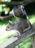 squirrel (focus on head) poster
