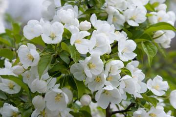 petals white