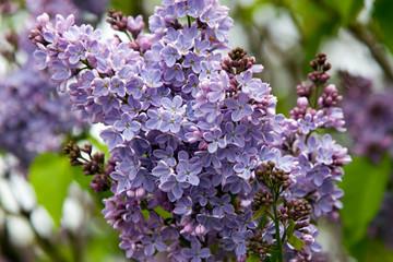 shades of lilac