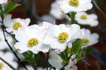 white dogwood 1