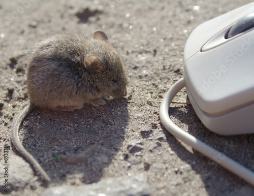 live mouse and computer mouse #4 of 4