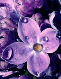Fototapeta woda - Krople - Kwiat