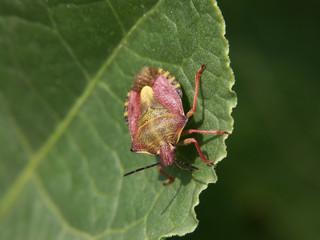 pentatomidae1