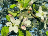 apple-tree in blossom poster
