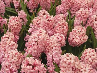 pink hyacinth field