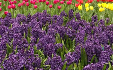 hyacinth field