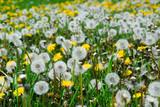 dandelion field poster