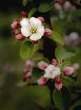 apfelblüten poster