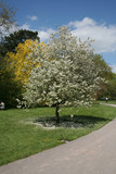 white blossom tree poster