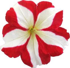 petunia rouge  et blanc