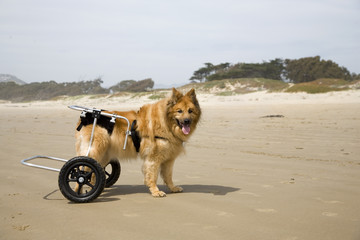 dog on wheels 02