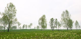 spring panorama with birch and snowdrop poster