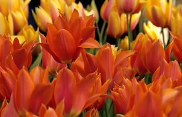 orange tulip background
