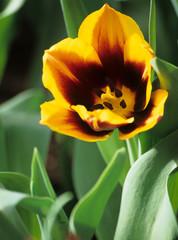 yellow spring tulip