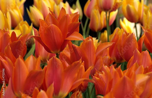orange tulip background