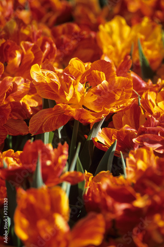 orange tulip fire