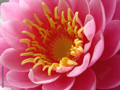 pink water lily - macro