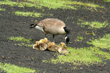 wild goose and chicks poster