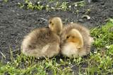 wild goose chicks poster