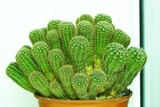 pack of cactuses poster