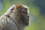 barbary ape poster