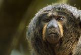 monkey closeup poster