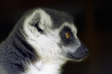 ring tailed lemur looking sideways poster