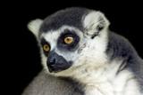 portrait of a cute monkey poster