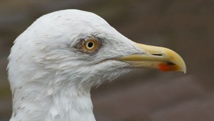 portrait of a wet looking seagull