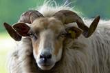 beautiful sheep poster