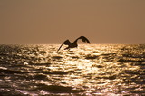 cape may sea gull (seagull) in flight at sunset poster