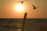 cape may sea gull at sunset poster