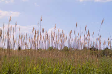cattails at cape may bird sanctuary