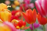 tulpen - 717599