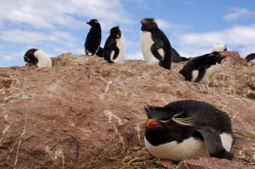 rockhopper peguin, manchot, pingouin