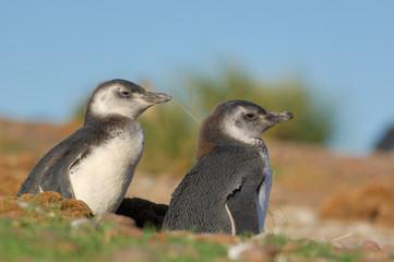 manchot, pingouin