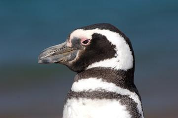manchot  pingouin