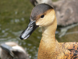 wandering whistling duck poster