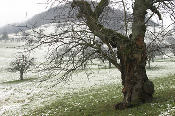 alter baum in wiese_1