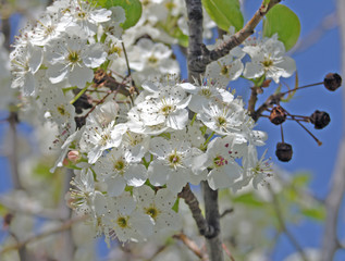 cherry blossums