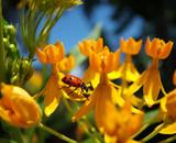 ladybug on yellow flowers poster