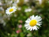 simplicity - daisy poster
