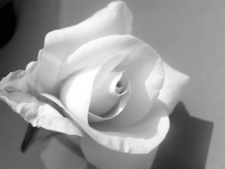 white rose black and white.