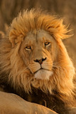 big male lion poster