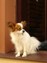 Pies Papillon