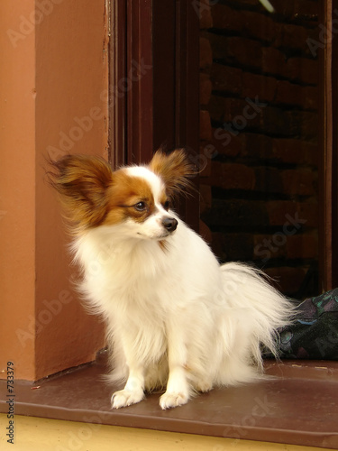 poster of papillon dog