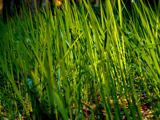 grass on morning light