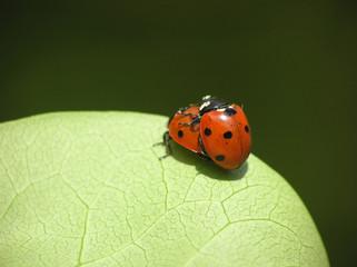 two loving ladybugs