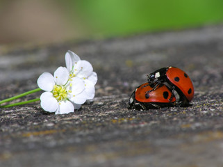 two loving ladybugs
