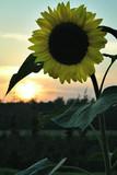 sunflower in rising sun poster
